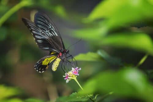 Alla scoperta delle farfalle più grandi del mondo