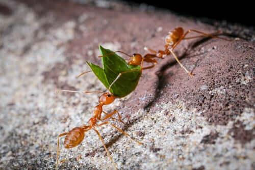 Formiche che portano una foglia