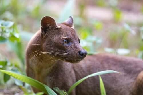 Fossa: il più strano predatore del Madagascar