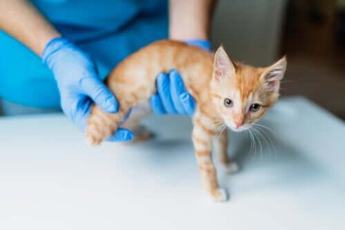 Gatto con la pelle gialla: può essere un segno di insufficienza epatica