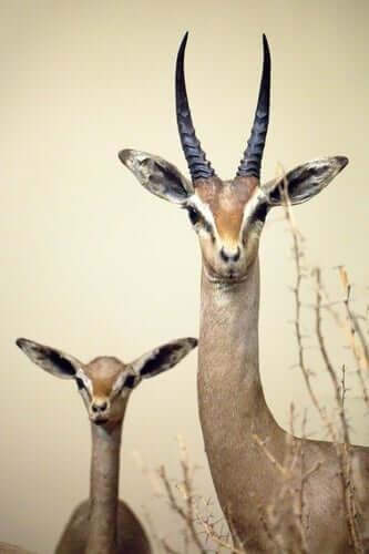 Gazzella grande e gazzella piccola