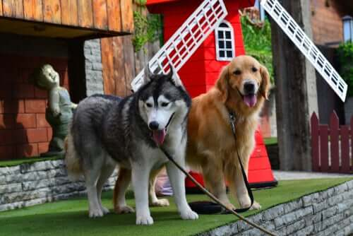 Husky e golden retriever