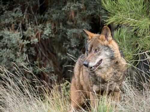 Lupo tra gli animali selvatici in Italia