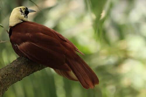 Specie di uccello del Paradiso