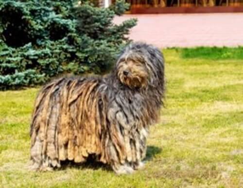 Pastore bergamasco: origine e caratteristiche di un cane inconfondibile