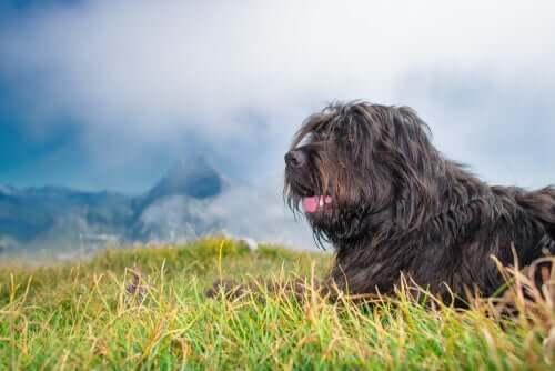 il pastore bergamasco è un cane tranquillo e fedele