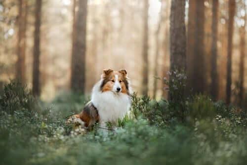 Cane Shetland in un bosco