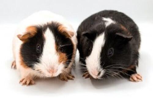 10 interessanti curiosità sui porcellini d'India