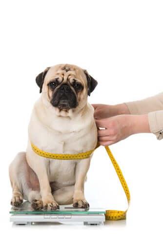 Come prendere le misure del cane