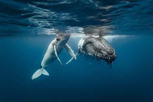 rotte migratorie delle balene