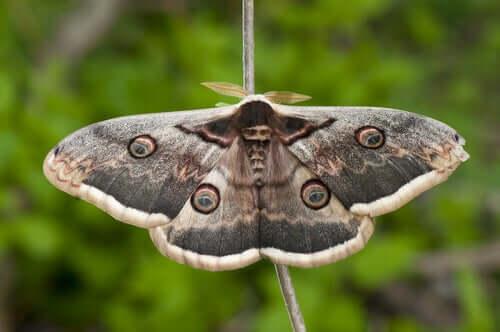 Saturnia del pero tra le farfalle più grandi del mondo