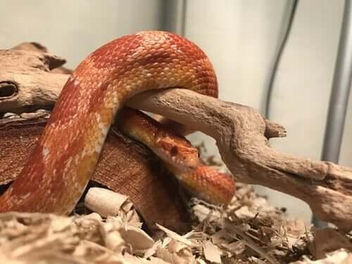 Serpente come animale domestico