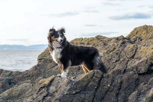 Cane Shetland al mare