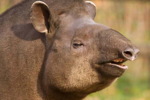 Tapiro brasiliano: un parente del rinoceronte