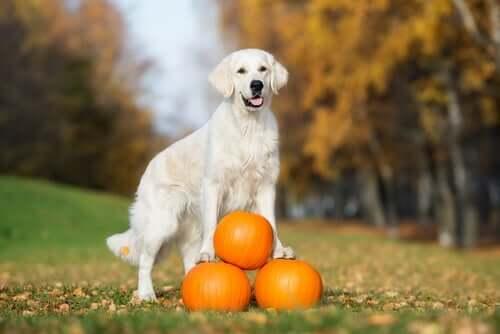 I benefici della zucca nell'alimentazione del cane