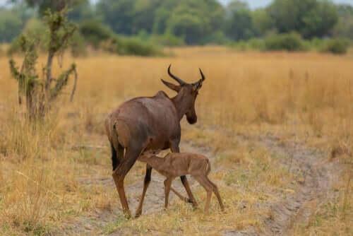 le femmine di damalisco vivono in gruppi di madri e cuccioli