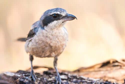 Averla meridionale: l'uccello macellaio