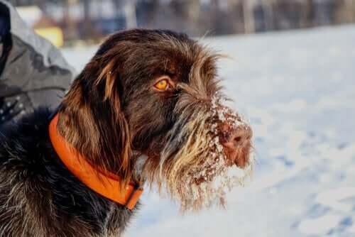 Cane con neve tra i peli del muso