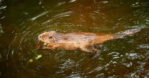 I castori tra i migliori nuotatori del regno animale