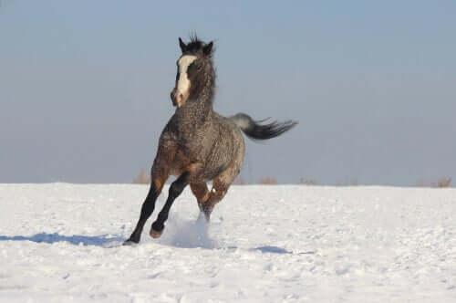 Cavallo dal pelo riccio al galoppo