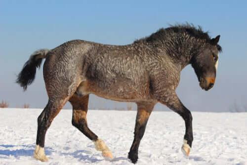 Cavallo di pelo riccio al trotto