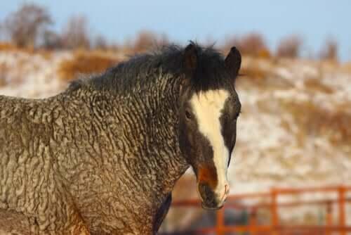 Il cavallo dal pelo riccio: misterioso e ipoallergenico