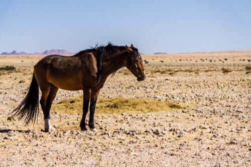 Cavallo nella Namibia