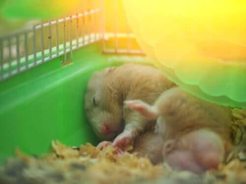Criceto che dorme