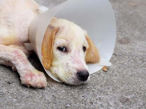 Demodicosi canina: cause e trattamento