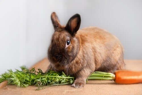 Consigli per la dieta del coniglio nano