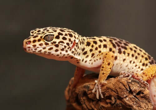 Il geco leopardo: riproduzione e terrario
