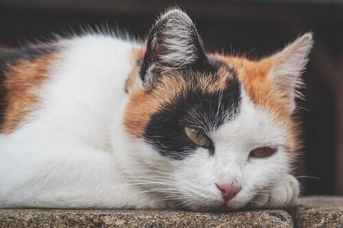 Anemia nei gatti: come riconoscerla e trattarla
