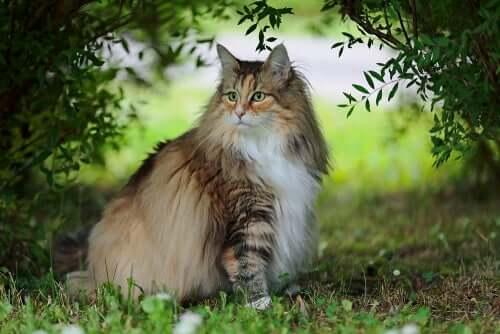 Il gatto delle foreste norvegesi, un animale ancora poco noto