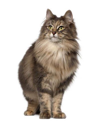 il pelo del gatto delle foreste norvegesi è lungo e abbondante