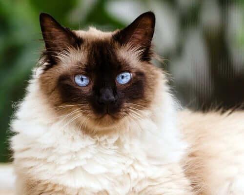 Il gatto himalayano: tra il persiano e il siamese