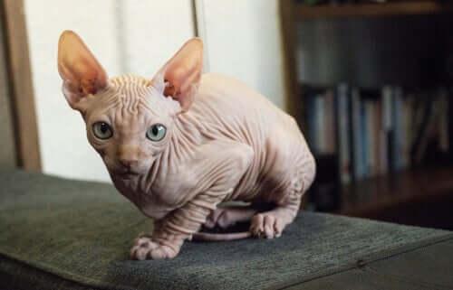 Il gatto Kohona: il gatto nudo hawaiano