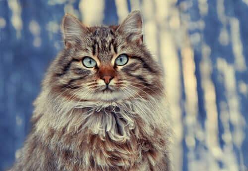 gatto siberiano, razze di gatti dal pelo lungo