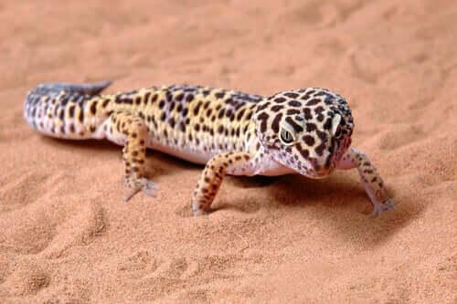 Geco leopardo dentro il terrario