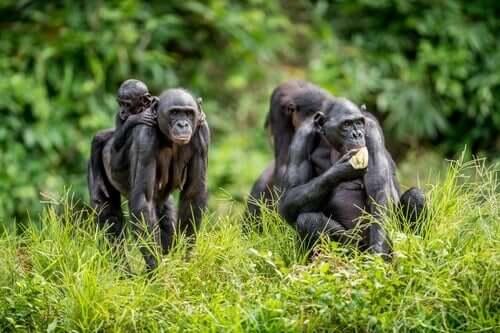 Gruppo di scimmie le mamme bonobo e i loro figli