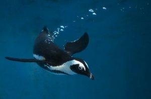 Pinguini più agili in acqua