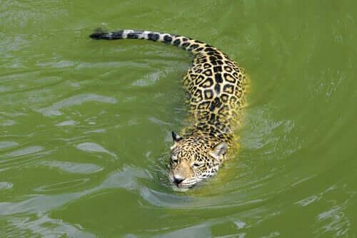 Il giaguaro in acqua