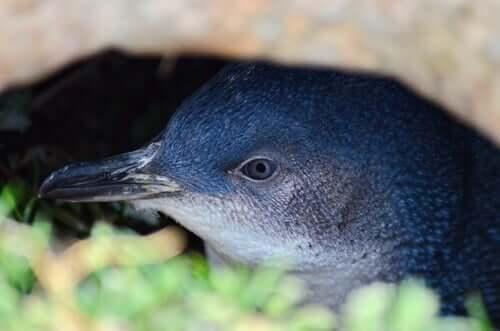 il pinguino minore blu