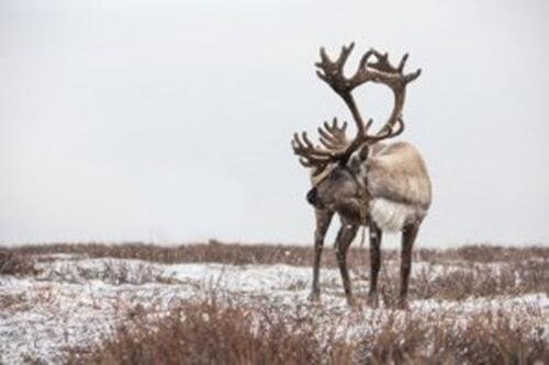 La renna: 7 curiosità su questo splendido cervide