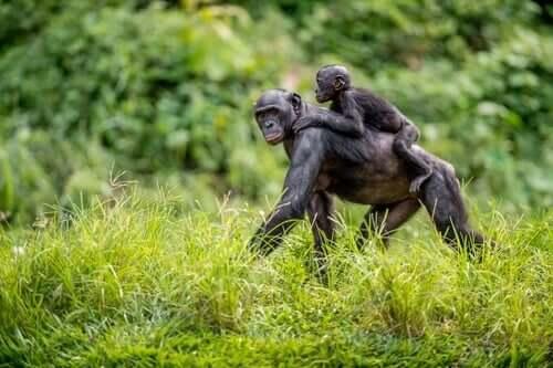 Le mamme bonobo aiutano i figli ad accoppiarsi