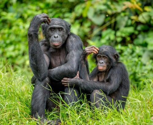 Mamma bonobo e cucciolo
