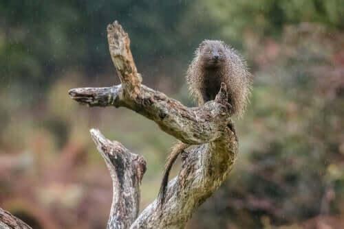 la mangusta egiziana è uno dei pochi mammiferi che possiede una pupilla orizzontale