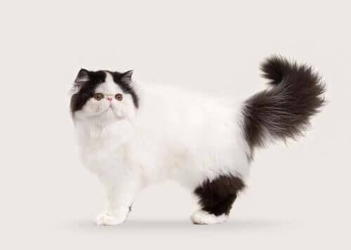 10 bellissime razze di gatti dal pelo lungo