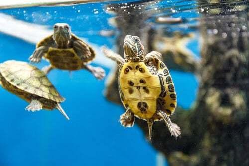 Tartarughe che nuotano
