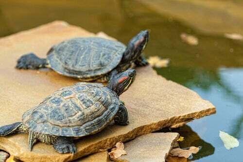 prendersi cura di una tartaruga d'acqua