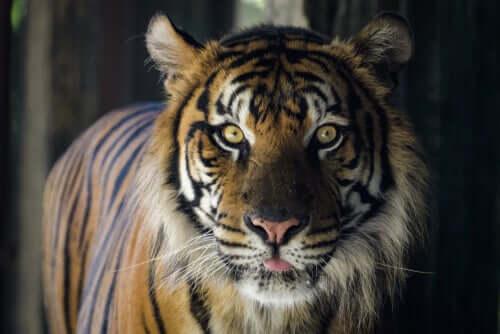 Tigre siberiana: un documentario per riflettere